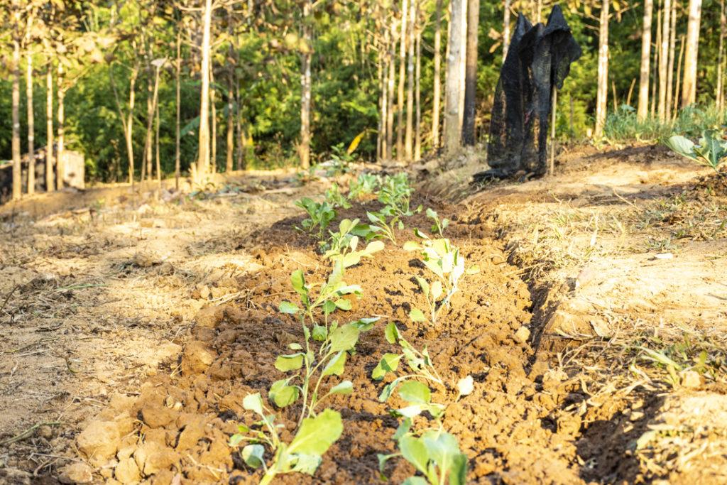 Primeiro día de traballo pola tarde: Brócoli plantado