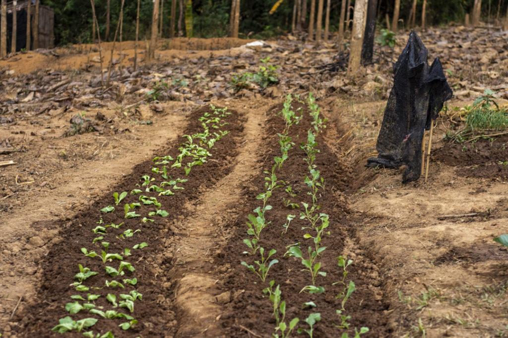 Segundo día de traballo pola tarde: Repolo plantado